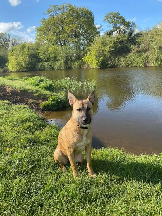 Chickpea – 8 month old female Cross-Breed