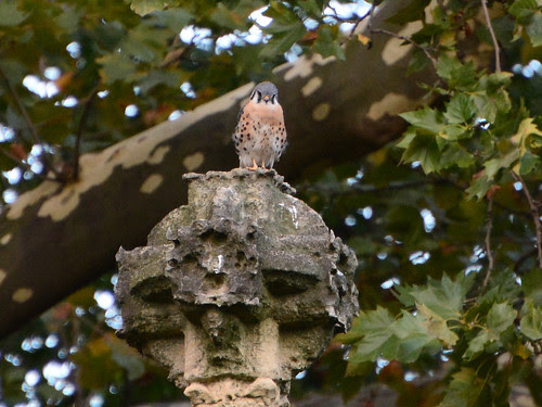 Cathedral Kestrel