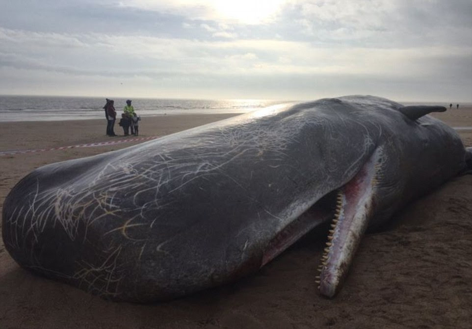 Tragic: One whale, pictured, was found washed up on its own at Skegness while another two were found together further down the coast