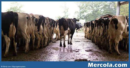 The Dirty Underbelly of the US Dairy Industry