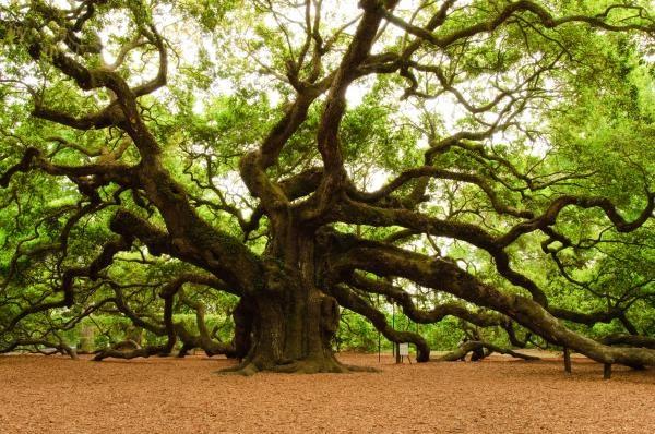 أوراق شجرة السنديان أو البلوط