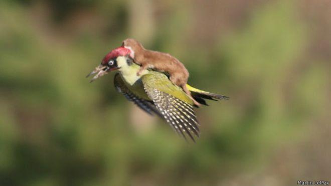 Pájaro carpintero con comadreja a cuestas