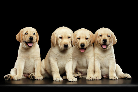 Golden Labrador Retriever Puppies Isolated On Black Background by Sergey Taran