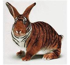 Coelho Tigre