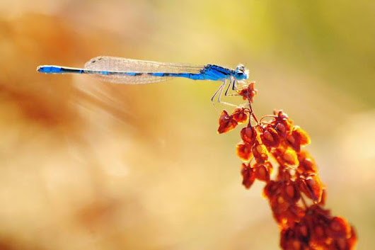 """Blue Dragonfly Macro"" by seanrice"