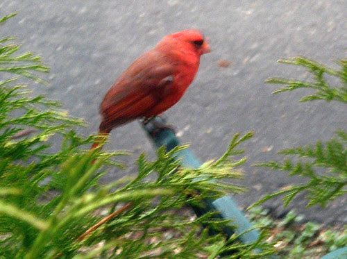 nesting cardinals,  proud father #1