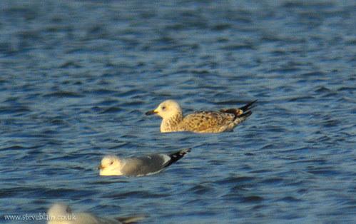 Caspian Gull at Stewartby Lake