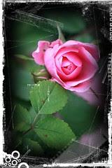 Roses: antique 5