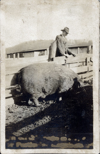 Man and hog