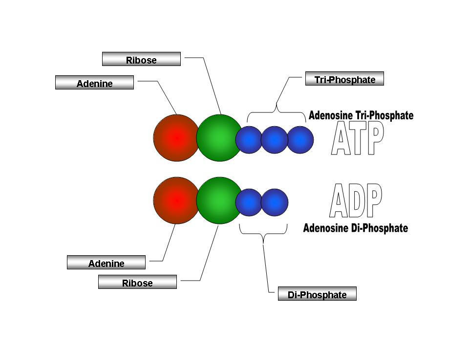 ATP and ADP Diagram by DiSSo on DeviantArt