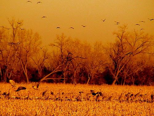 2/22/08 Sandhill Cranes 1 Hedge Coke