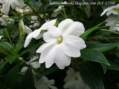 ch - cv white