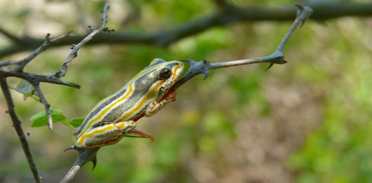 Lifting the lid on how frogs find their way to foreign lands