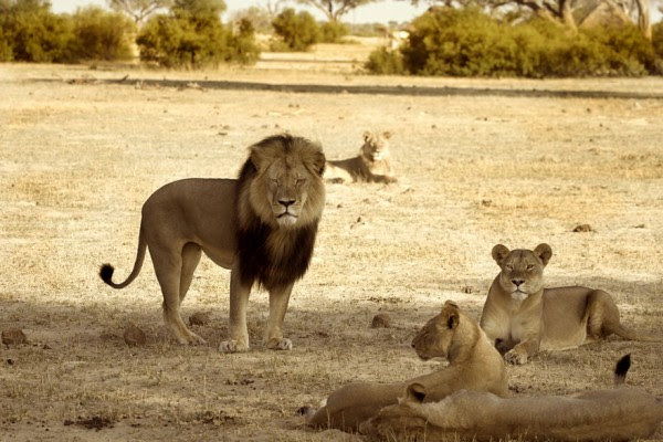 cecil-lion-illegal-hunting-internet-backlash-walter-palmer-zimbabwe-4