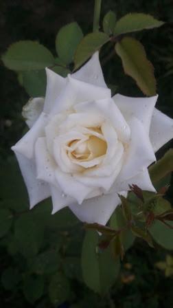 Una Rosa Dentro De Otra Rosa