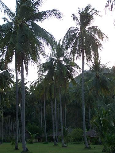 Ko Yao Island Resort coconut palms