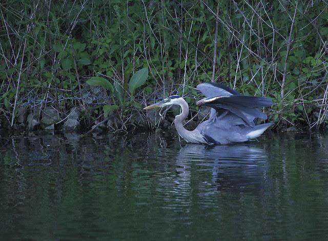 fishing heron8
