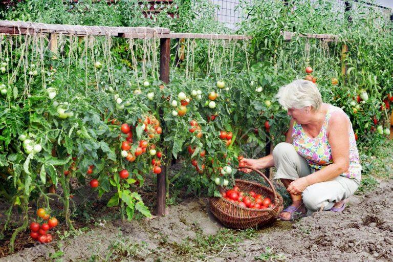 18575462 Ancianos amante de un huerto recibido cosecha de tomates Foto de archivo 768x512