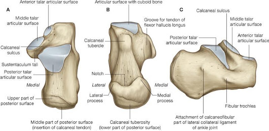 Calcaneus Anatomy and Attachments | Bone and Spine
