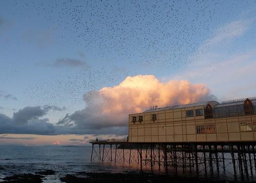 23686 - Aberystwyth Pier Starling Roost