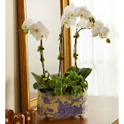 1-800 Flowers English Garden Orchid for Sympathy Plants