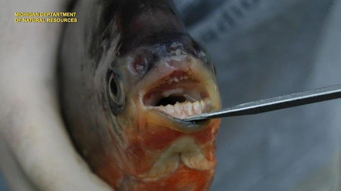 TREND ESSENCE: What are 'vegetarian piranhas' doing in Michigan?
