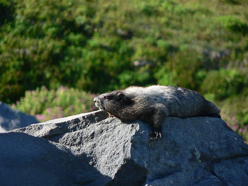 File:Marmota caligata 23170.JPG