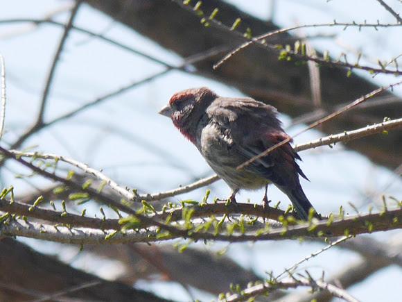 Ed Gaillard: birds &emdash; House Finch preparing to sing, Central Park