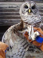 Rehab barred owl