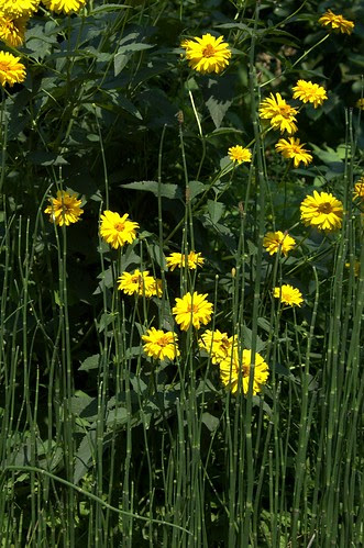 Big Yellow and Horsetail