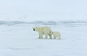English: Polar bear with cub on the ice in the...