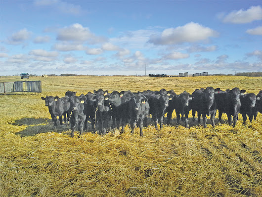 Does feed efficiency affect a cow's fertility?