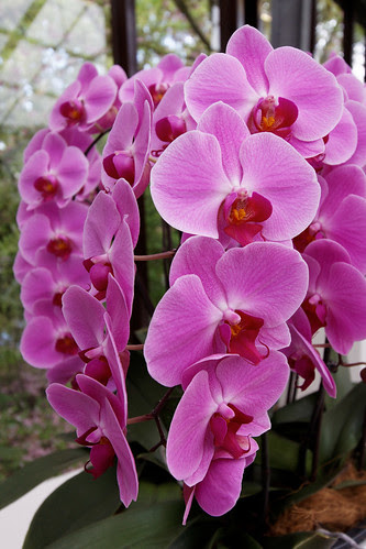 Keukenhof Orchid