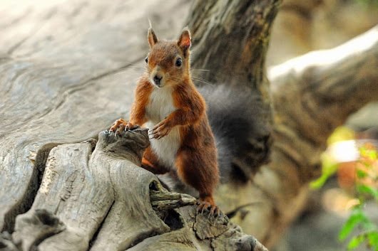 Photographing the Red Squirrels of Brownsea Island - Travel with Kat