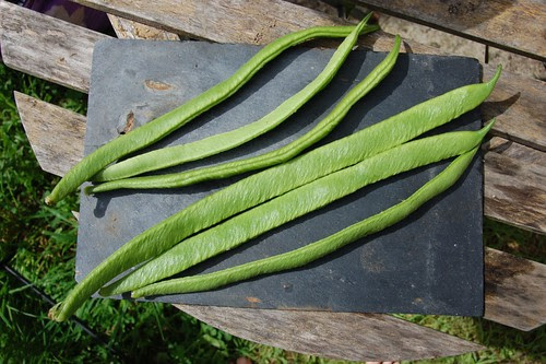 White Emergo runner beans