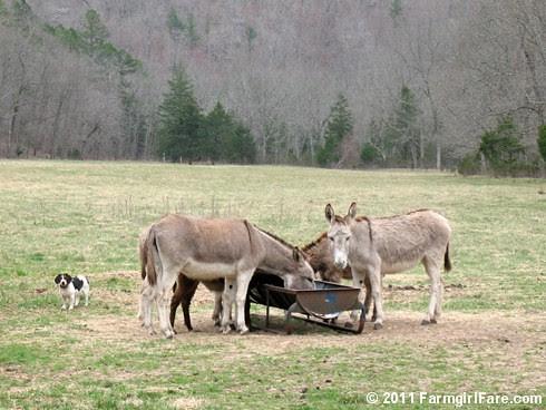 Bert in Donkeyland - FarmgirlFare.com