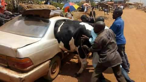 TF is this? See how a group of men tried to force a cow into a car (photos)