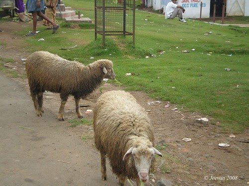 Dirty sheep