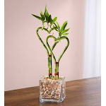 Flower Delivery by 1-800 Flowers Sweet Heart Bamboo Double Plant, Medium