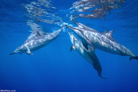 Hawaiian Spinner Dolphins in Maui Hawaii