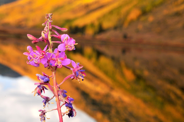 the last fireweed