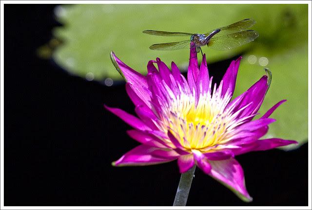 Dragonflies at MoBot 4