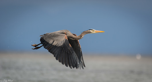 British Columbia | A Great Blue Heron Take Off