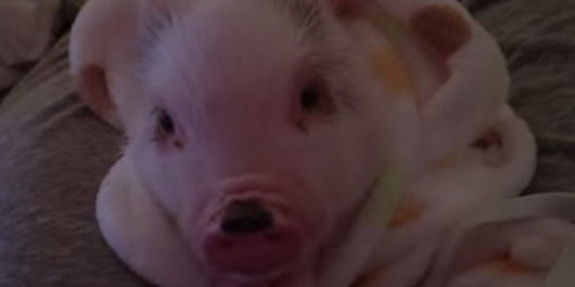 WATCH: This Sleepy Piglet Yawning And Squealing Might Be The Cutest Thing You See Today