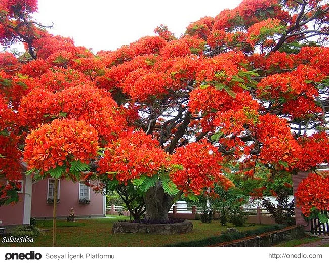 4. Anavatanı Madagaskar olan bu harika Ateş ağacı Brezilya'da bulunuyor.
