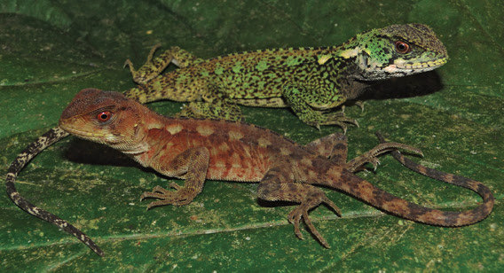 Male and female (duller colored) of Enyalioides azulae. Photo by: P.J. Venegas.