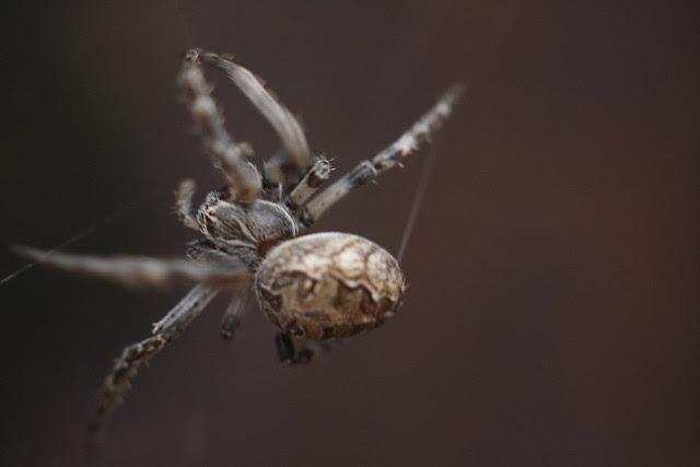 spider, tanner springs