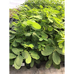 Senna marilandica 72 Plugs   Conservation Quality Plants by ArcheWild