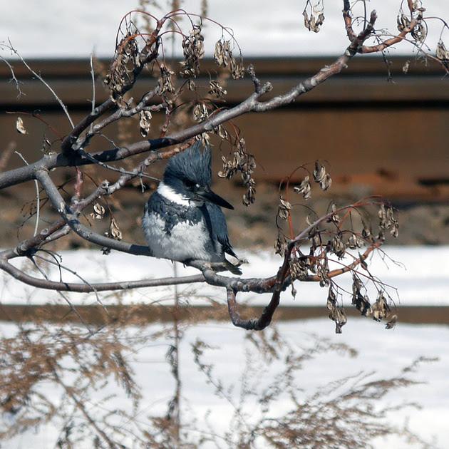 Ed Gaillard: birds &emdash; Belted Kingfisher, Bronx Kill (Randall's Island)