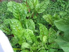 Swiss Chard & Lotsa Weeds